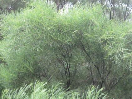 Acacia foliage again
