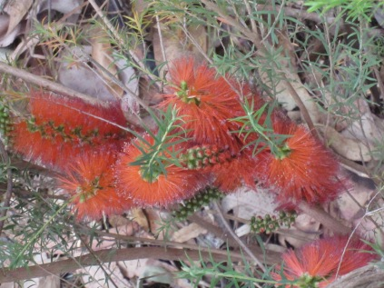 Closer up of bottlebrush