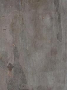 Eucalyptus maculata - spotted gum