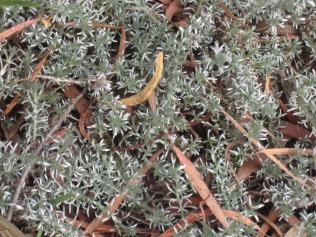 Eumorphia prostrata - lovely foliage, low to the ground shrub