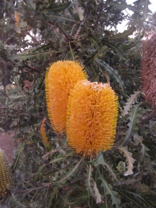 Luminous banksia