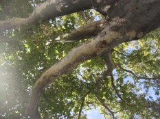 Looking up along branches