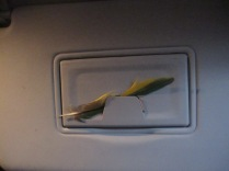 Parrot feather in the car