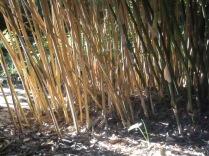 Bamboo in the sun, Bot Gdns