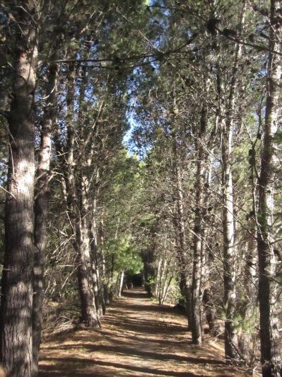 Walking down an avenue of pines in Auburn