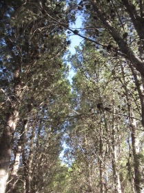 Looking up through the pines