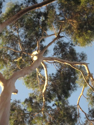 Looking up through tree, North Terrace, Adelaide