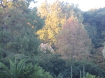 Bot Gdns again, today, very last of the light making the tree look more autumny than it was