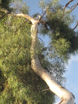 Looking up - leaves as well as trunk. Not sure where... (lemon scented gum)