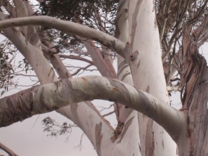 Branches of the same eucalypt