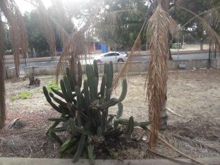 Indomitable cactus