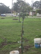 The Red Gum sapling