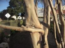 A crepe myrtle trunk I think