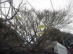 A wisteria leaf I think