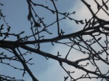 Buds coming