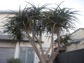 This amazing tree (what is it??)