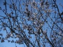Almond and sky