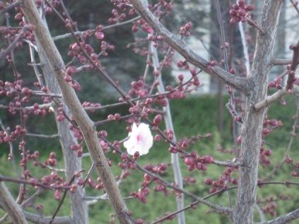 Prunus and buds