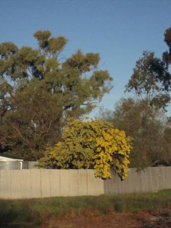 Wattle falling over fence