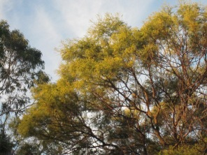Just flowering wattle