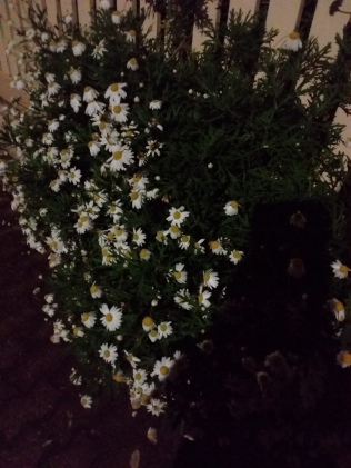Daisies (like little moons) in the moonlight