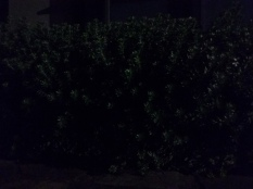 A hedge in the moonlight - can you see it?