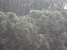 Beautiful casuarina trees moving in the wind