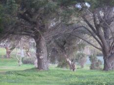 Kanga on the golf course