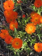 Close up of pigface