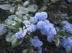 Ceanothus - one of my faves