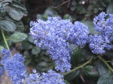 Close up of ceanothus