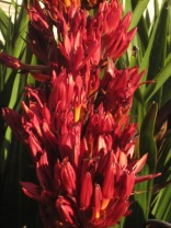 Doryanthes palmeri (spear lily)- fab colour and shape