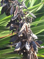 Seed pods of doryanthes palmeri