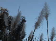 Pampas grass against the sky