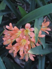 close up of clivia