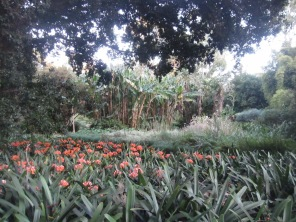 Sea of clivia, banana palms (or some sort of palm) in the middle distance