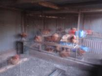 Another blurry-but-interesting shot of the chooks