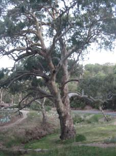 One of many beautiful red gums