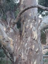 Further up the trunk of the same tree