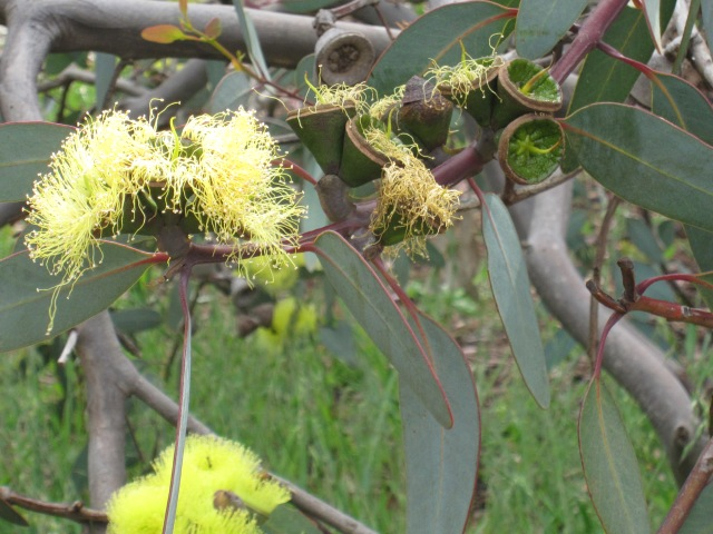Gum tree close up