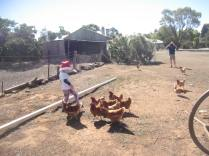 Jack and the chooks being photographed by Pa (Geoff)