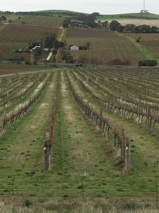 Vines, looking downhill