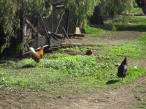 Not dad's chooks! These are Hean's girls (and a rooster)