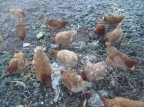 Chooks eating breakfast on icy ground