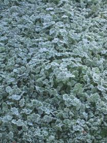 Medium close up of frosty grass/leaves