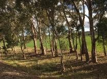 Afternoon light on saplings