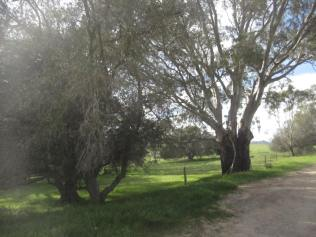 Old olive tree and gums