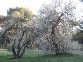 Old almond grove beside Sturt Creek